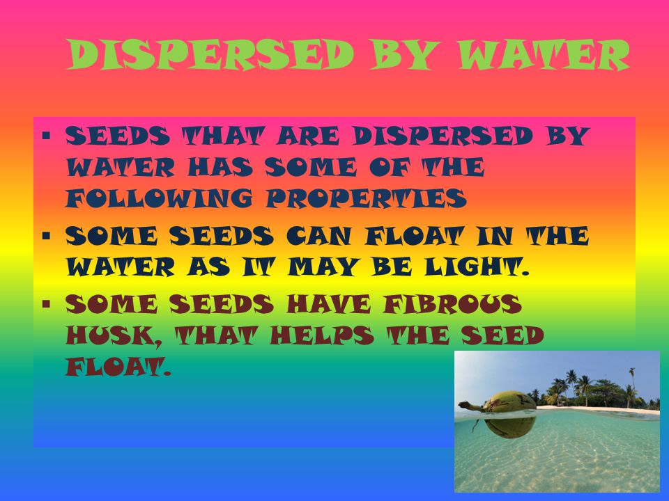 DISPERSED BY WATER  SEEDS THAT ARE DISPERSED BY WATER HAS SOME OF THE FOLLOWING PROPERTIES  SOME SEEDS CAN FLOAT IN THE WATER AS IT MAY BE LIGHT. 
