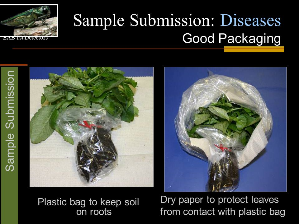 EAB 1st Detectors Sample Submission Sample Submission: Diseases Good Packaging Dry paper to protect leaves from contact with plastic bag Plastic bag t