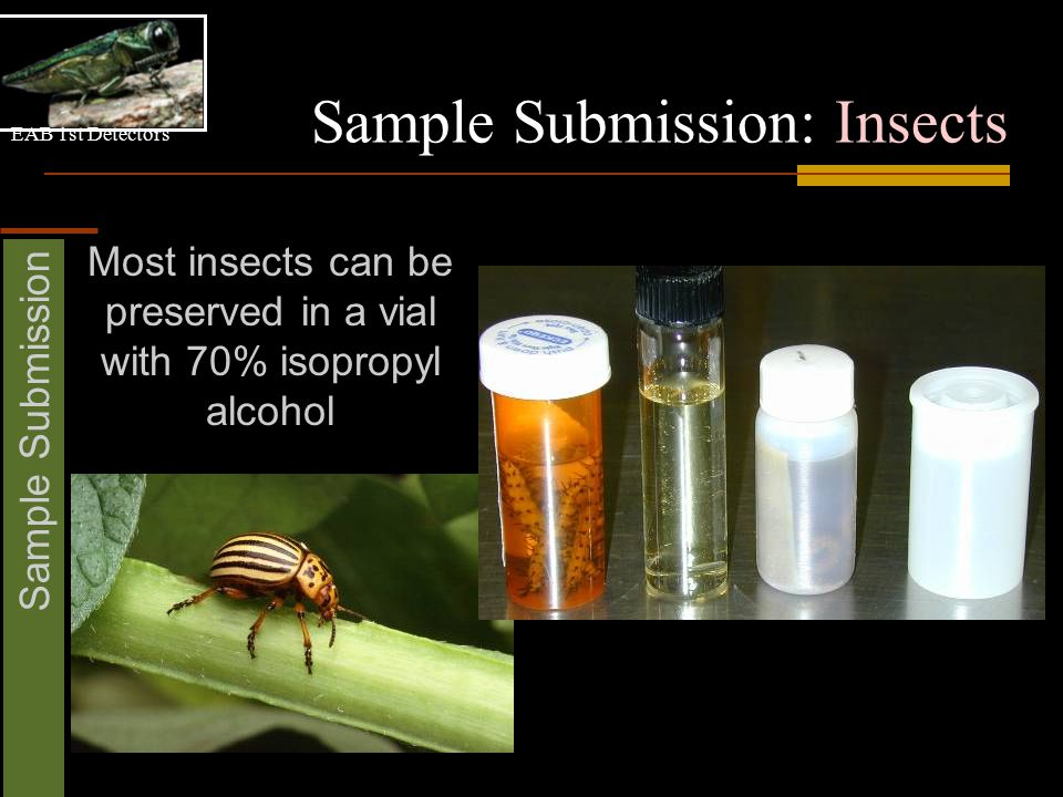 EAB 1st Detectors Sample Submission Sample Submission: Insects Most insects can be preserved in a vial with 70% isopropyl alcohol