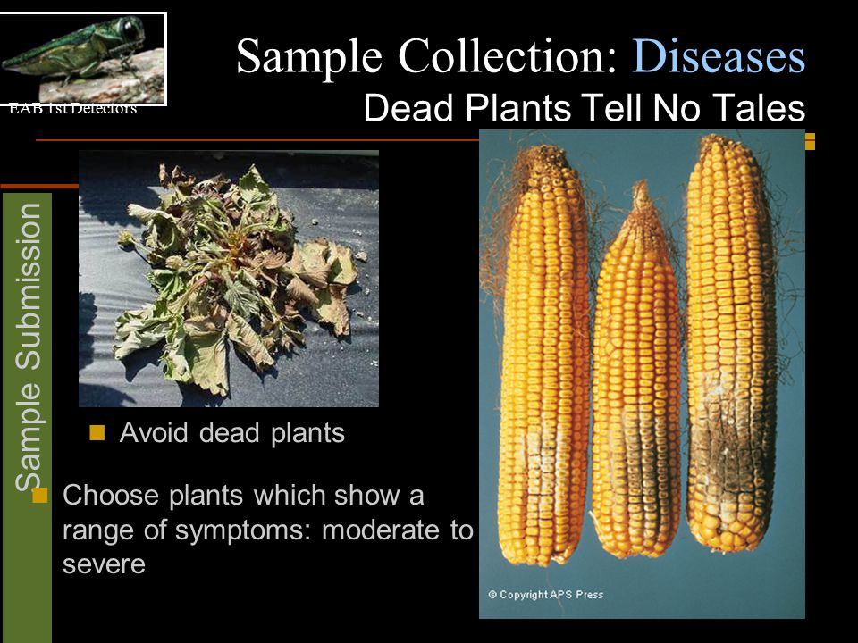 EAB 1st Detectors Sample Submission Sample Collection: Diseases Dead Plants Tell No Tales Avoid dead plants Choose plants which show a range of symptoms: moderate to severe