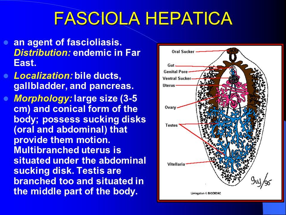 FASCIOLA HEPATICA an agent of fascioliasis. Distribution: endemic in Far East. Localization: bile ducts, gallbladder, and pancreas. Morphology: large