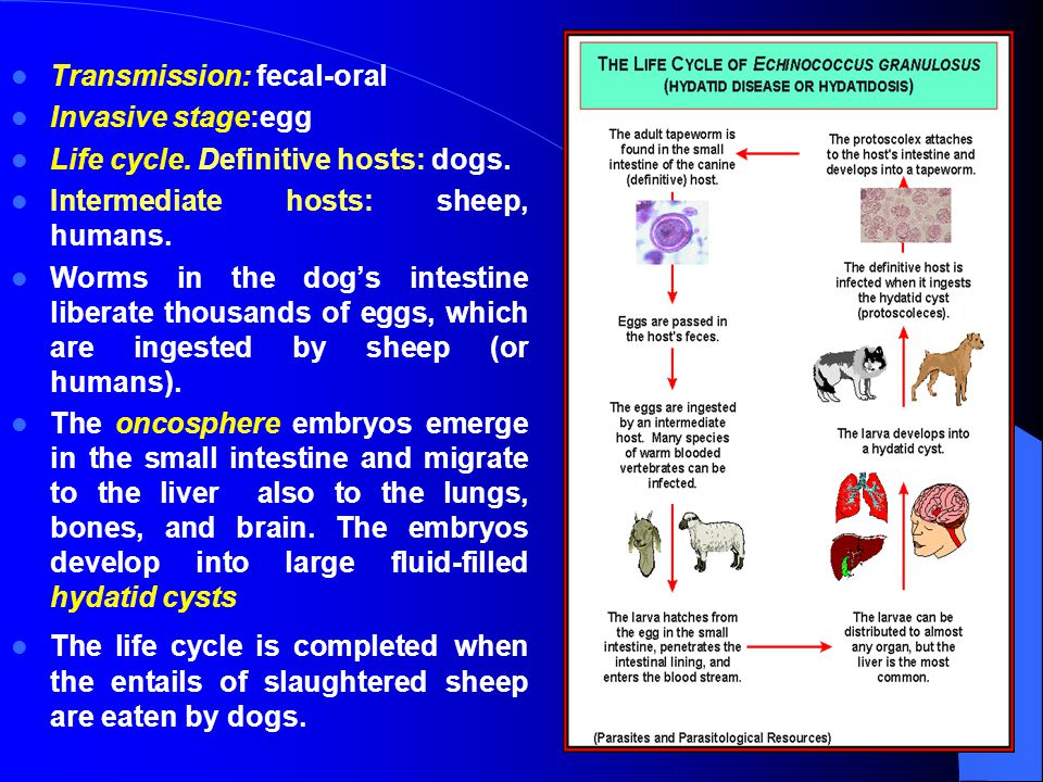 Transmission: fecal-oral Invasive stage:egg Life cycle. Definitive hosts: dogs. Intermediate hosts: sheep, humans. Worms in the dog's intestine libera