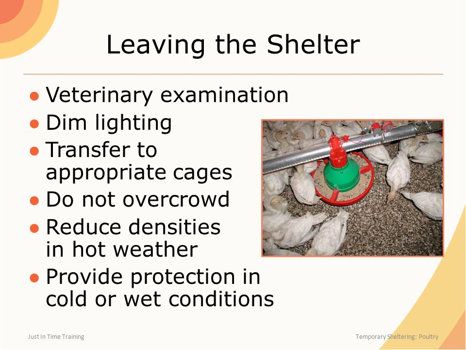 Leaving the Shelter ●Veterinary examination ●Dim lighting ●Transfer to appropriate cages ●Do not overcrowd ●Reduce densities in hot weather ●Provide protection in cold or wet conditions Just In Time Training Temporary Sheltering: Poultry
