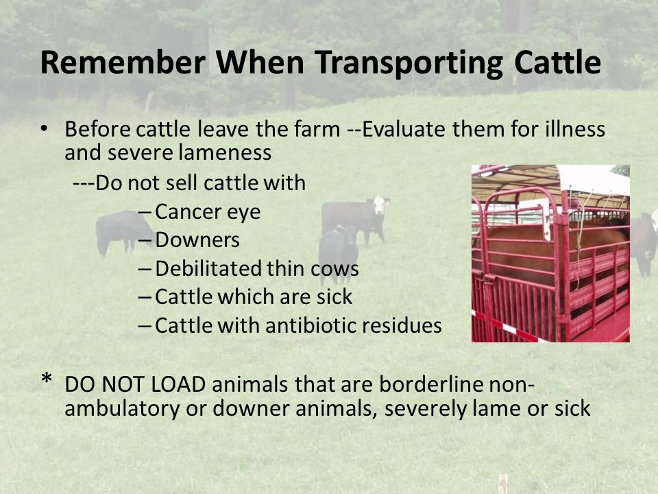 Remember When Transporting Cattle Before cattle leave the farm --Evaluate them for illness and severe lameness --- Do not sell cattle with – Cancer eye – Downers – Debilitated thin cows – Cattle which are sick – Cattle with antibiotic residues * DO NOT LOAD animals that are borderline non- ambulatory or downer animals, severely lame or sick
