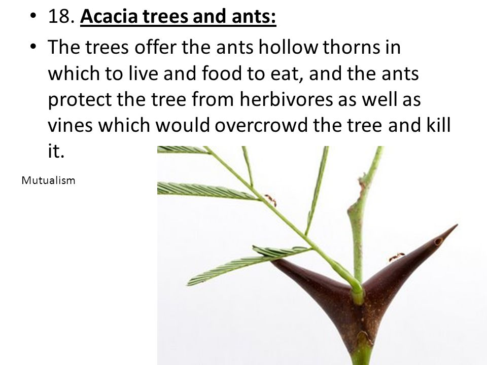 18. Acacia trees and ants: The trees offer the ants hollow thorns in which to live and food to eat, and the ants protect the tree from herbivores as w