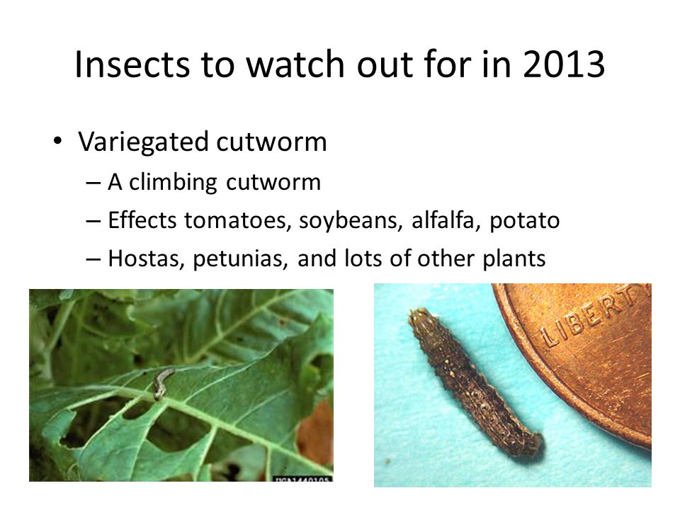 Insects to watch out for in 2013 Variegated cutworm – A climbing cutworm – Effects tomatoes, soybeans, alfalfa, potato – Hostas, petunias, and lots of other plants
