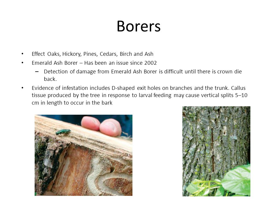 Borers Effect Oaks, Hickory, Pines, Cedars, Birch and Ash Emerald Ash Borer – Has been an issue since 2002 – Detection of damage from Emerald Ash Borer is difficult until there is crown die back.