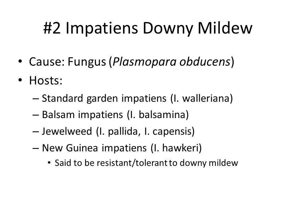 #2 Impatiens Downy Mildew Cause: Fungus (Plasmopara obducens) Hosts: – Standard garden impatiens (I. walleriana) – Balsam impatiens (I. balsamina) – J