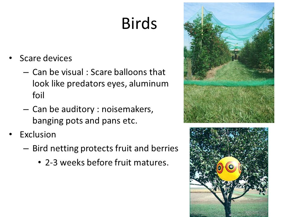 Birds Scare devices – Can be visual : Scare balloons that look like predators eyes, aluminum foil – Can be auditory : noisemakers, banging pots and pans etc.