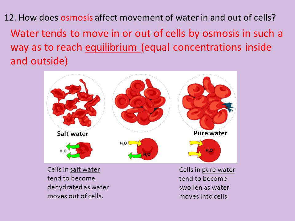 12. How does osmosis affect movement of water in and out of cells? Water tends to move in or out of cells by osmosis in such a way as to reach equilib