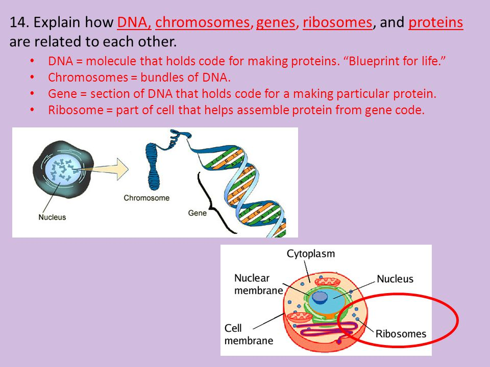 """14. Explain how DNA, chromosomes, genes, ribosomes, and proteins are related to each other. DNA = molecule that holds code for making proteins. """"Bluep"""