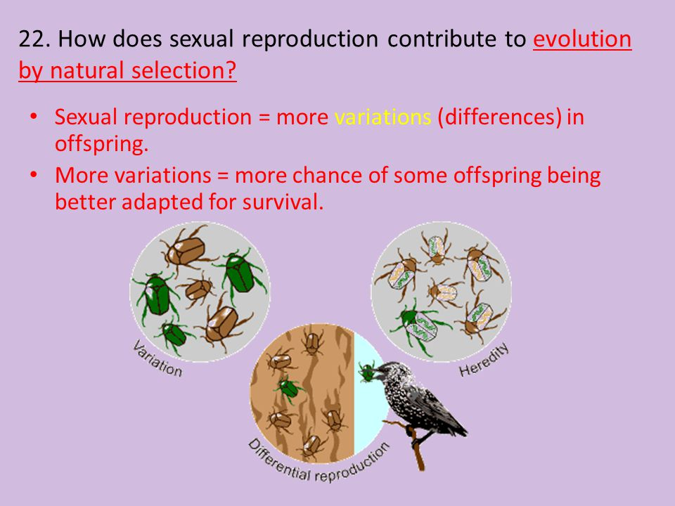 22. How does sexual reproduction contribute to evolution by natural selection? Sexual reproduction = more variations (differences) in offspring. More