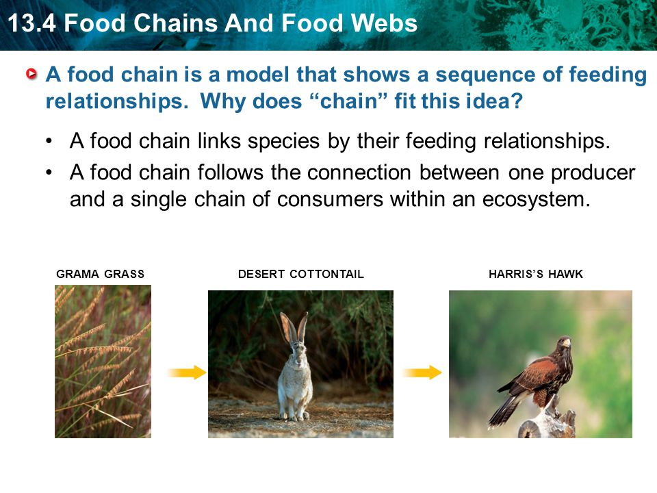 13.4 Food Chains And Food Webs A food chain is a model that shows a sequence of feeding relationships.