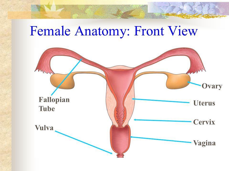 Female Anatomy: Front View Vagina Cervix Uterus Ovary Fallopian Tube Vulva