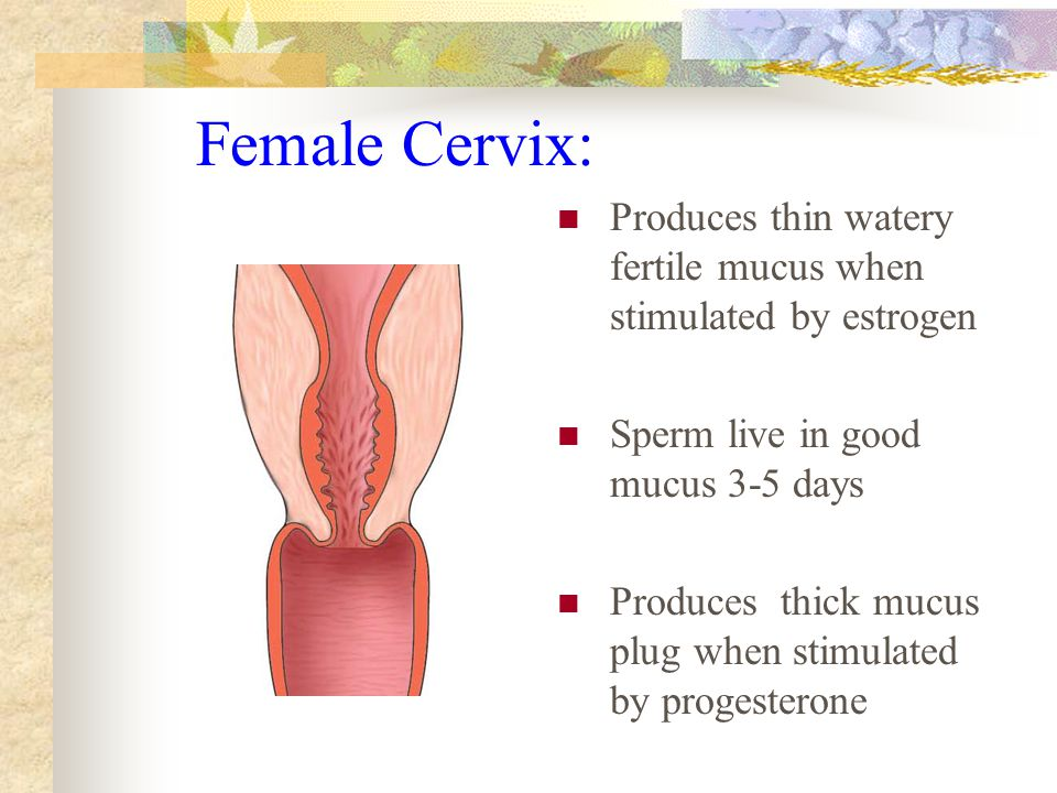 Female Cervix: Produces thin watery fertile mucus when stimulated by estrogen Sperm live in good mucus 3-5 days Produces thick mucus plug when stimulated by progesterone