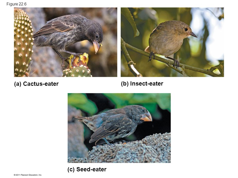 Figure 22.6 (a) Cactus-eater (b) Insect-eater (c) Seed-eater