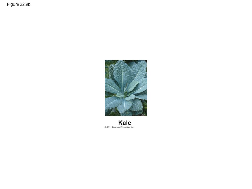 Figure 22.9b Kale