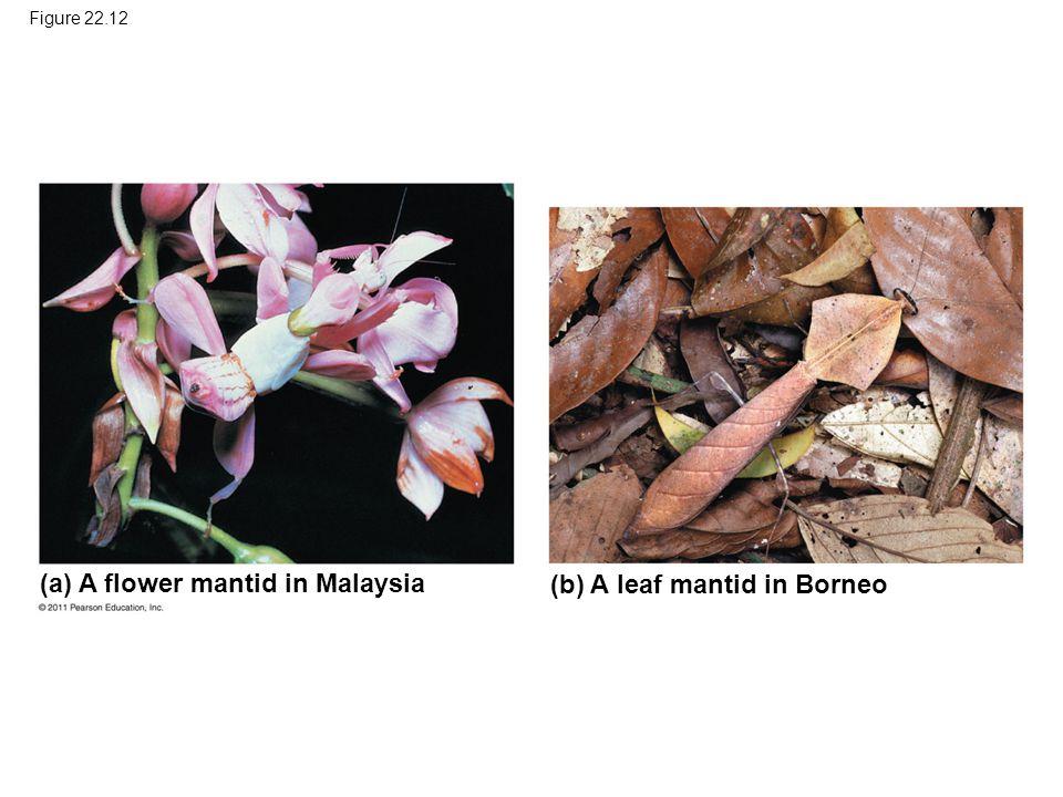 Figure 22.12 (a) A flower mantid in Malaysia (b) A leaf mantid in Borneo
