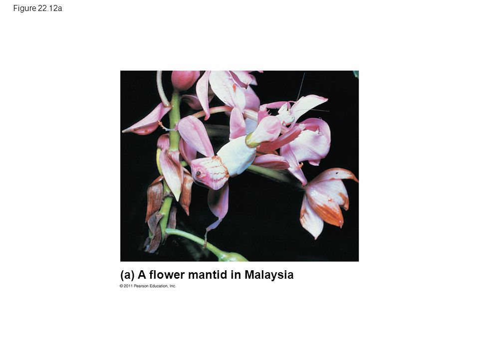 Figure 22.12a (a) A flower mantid in Malaysia