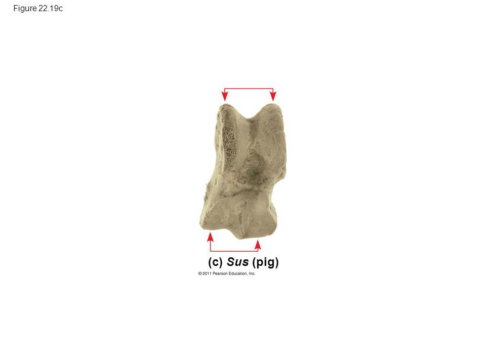 Figure 22.19c (c) Sus (pig)