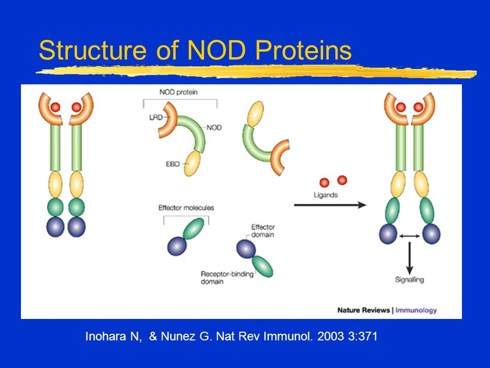 Structure of NOD Proteins Inohara N, & Nunez G. Nat Rev Immunol. 2003 3:371