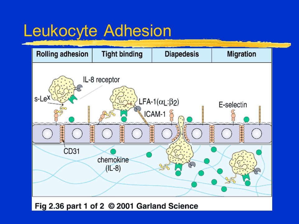 Leukocyte Adhesion