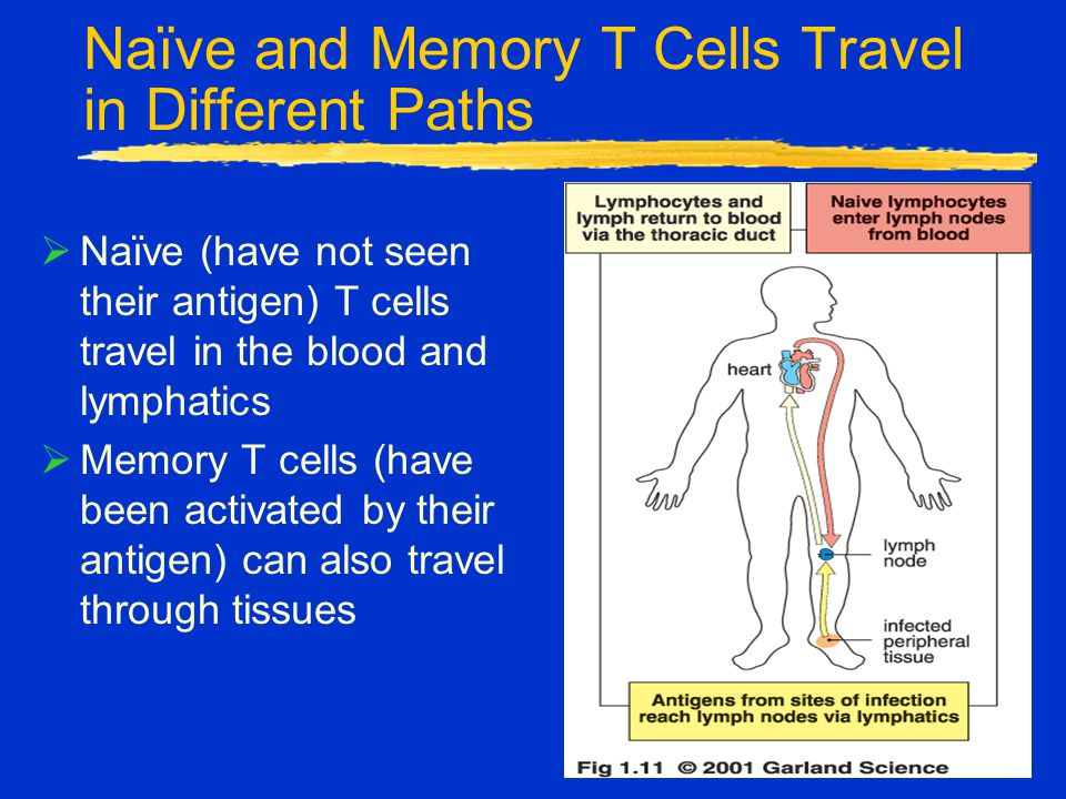 Naïve and Memory T Cells Travel in Different Paths  Naïve (have not seen their antigen) T cells travel in the blood and lymphatics  Memory T cells (have been activated by their antigen) can also travel through tissues