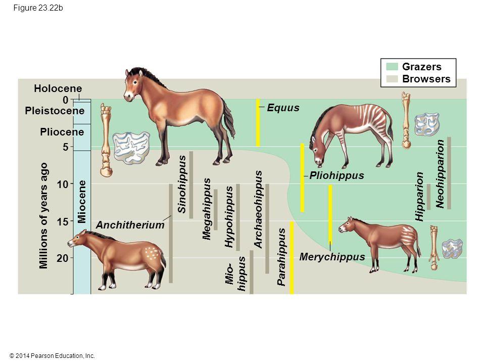© 2014 Pearson Education, Inc. Figure 23.22b Grazers Browsers Millions of years ago Holocene Pleistocene Pliocene Miocene Equus Sinohippus Megahippus