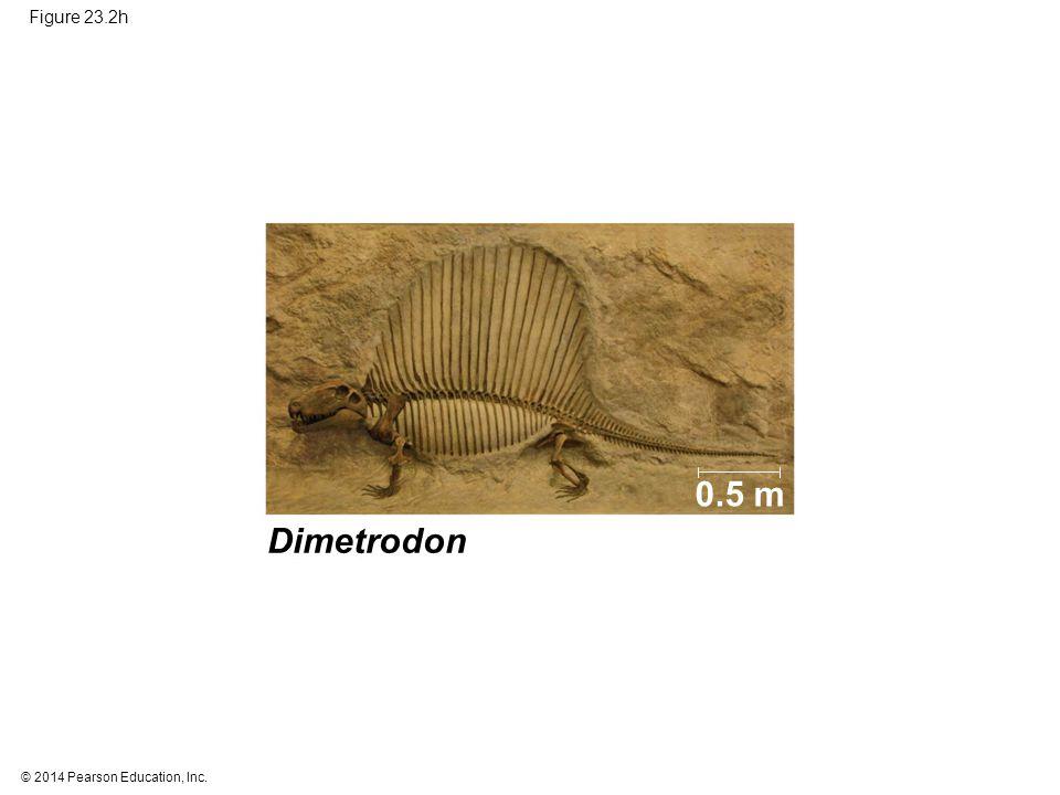 © 2014 Pearson Education, Inc. Figure 23.2h Dimetrodon 0.5 m