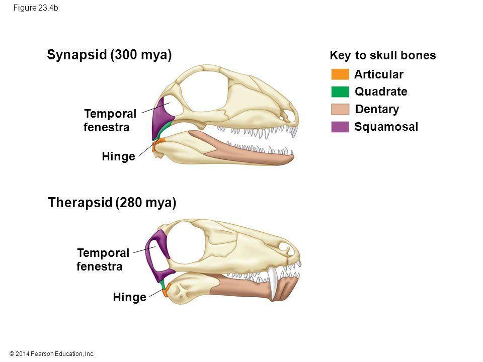 © 2014 Pearson Education, Inc. Figure 23.4b Synapsid (300 mya) Therapsid (280 mya) Key to skull bones Articular Quadrate Dentary Squamosal Temporal fe