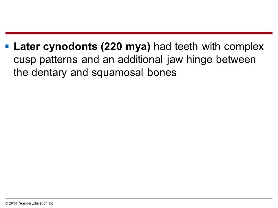 © 2014 Pearson Education, Inc.  Later cynodonts (220 mya) had teeth with complex cusp patterns and an additional jaw hinge between the dentary and sq