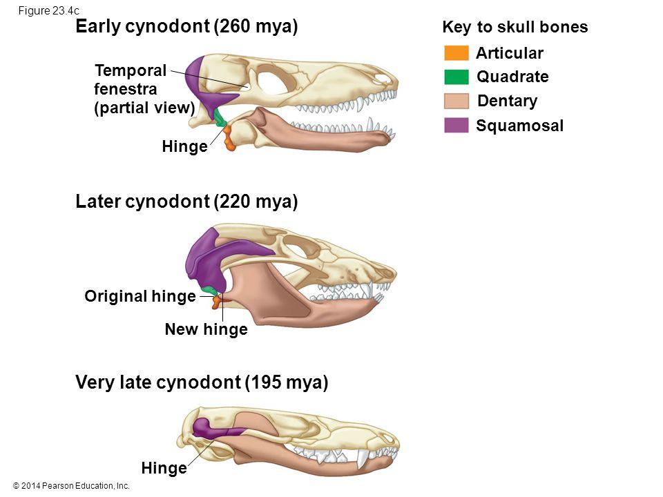 © 2014 Pearson Education, Inc. Figure 23.4c Key to skull bones Articular Quadrate Dentary Squamosal Hinge New hinge Original hinge Hinge Temporal fene