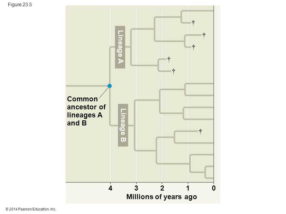 © 2014 Pearson Education, Inc. Figure 23.5 Common ancestor of lineages A and B Millions of years ago Lineage B Lineage A † † † † † † 4321 0