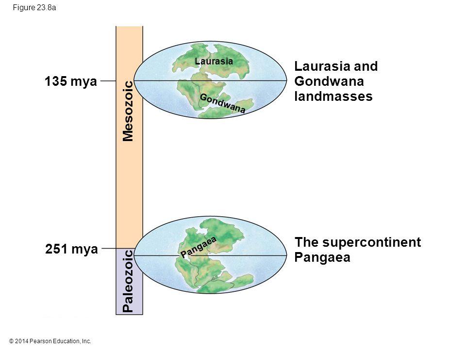 © 2014 Pearson Education, Inc. Figure 23.8a Laurasia and Gondwana landmasses The supercontinent Pangaea Gondwana Laurasia Mesozoic Paleozoic 251 mya 1