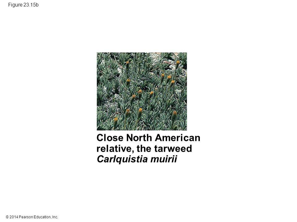 © 2014 Pearson Education, Inc. Figure 23.15b Close North American relative, the tarweed Carlquistia muirii