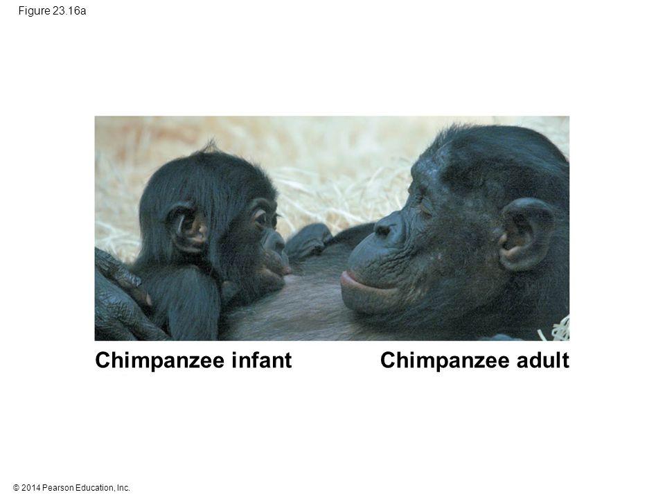 © 2014 Pearson Education, Inc. Figure 23.16a Chimpanzee infantChimpanzee adult
