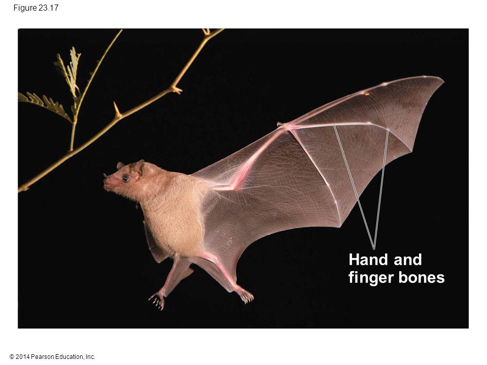© 2014 Pearson Education, Inc. Figure 23.17 Hand and finger bones