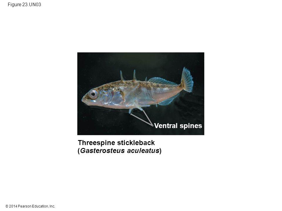© 2014 Pearson Education, Inc. Figure 23.UN03 Threespine stickleback (Gasterosteus aculeatus) Ventral spines
