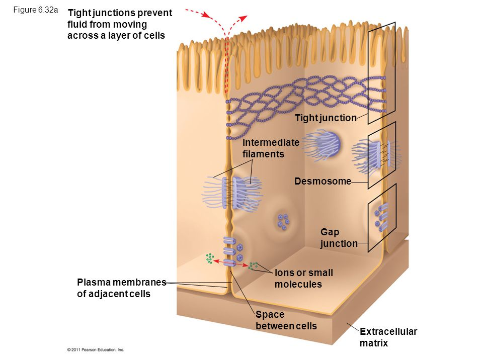Tight junctions prevent fluid from moving across a layer of cells Extracellular matrix Plasma membranes of adjacent cells Space between cells Ions or