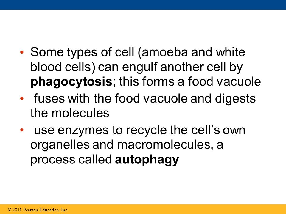 Some types of cell (amoeba and white blood cells) can engulf another cell by phagocytosis; this forms a food vacuole fuses with the food vacuole and d