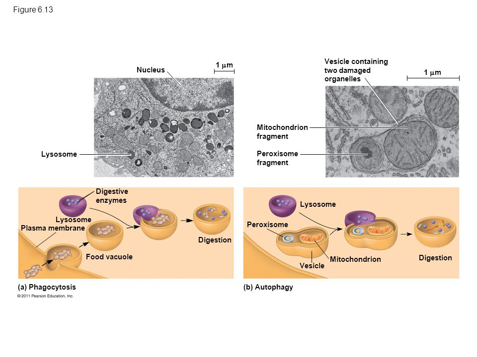Figure 6.13 Nucleus Lysosome 1  m Digestive enzymes Digestion Food vacuole Lysosome Plasma membrane (a) Phagocytosis Vesicle containing two damaged o