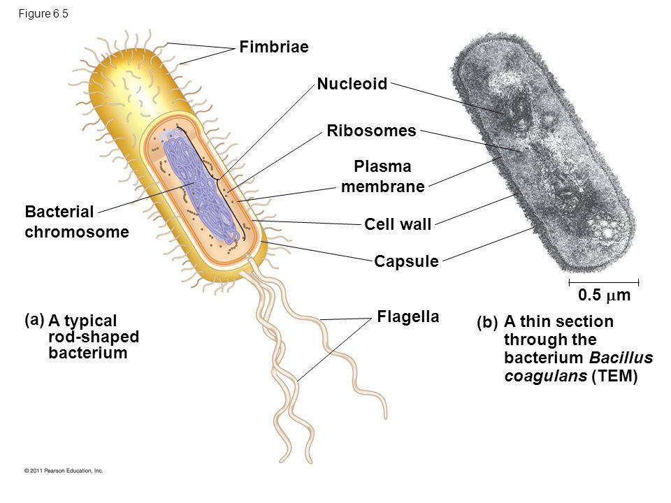 Fimbriae Bacterial chromosome A typical rod-shaped bacterium (a) Nucleoid Ribosomes Plasma membrane Cell wall Capsule Flagella A thin section through