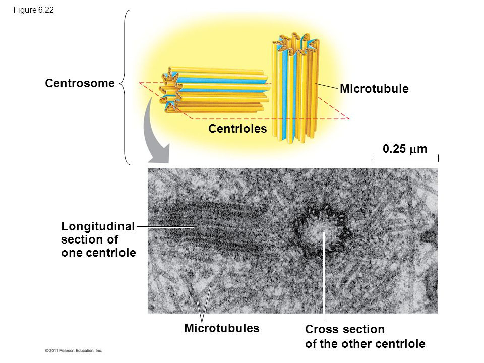 Centrosome Longitudinal section of one centriole Centrioles Microtubule 0.25  m Microtubules Cross section of the other centriole Figure 6.22