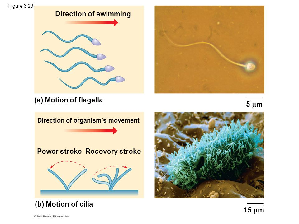 Direction of swimming (b) Motion of cilia Direction of organism's movement Power stroke Recovery stroke (a) Motion of flagella 5  m 15  m Figure 6.2