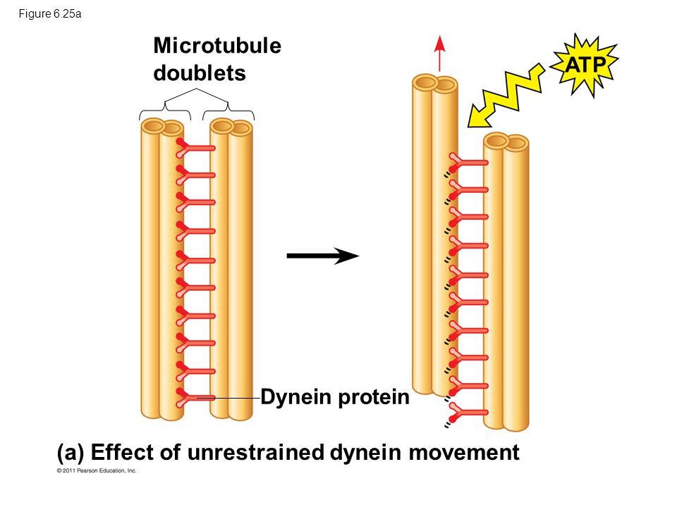 Microtubule doublets Dynein protein ATP (a) Effect of unrestrained dynein movement Figure 6.25a