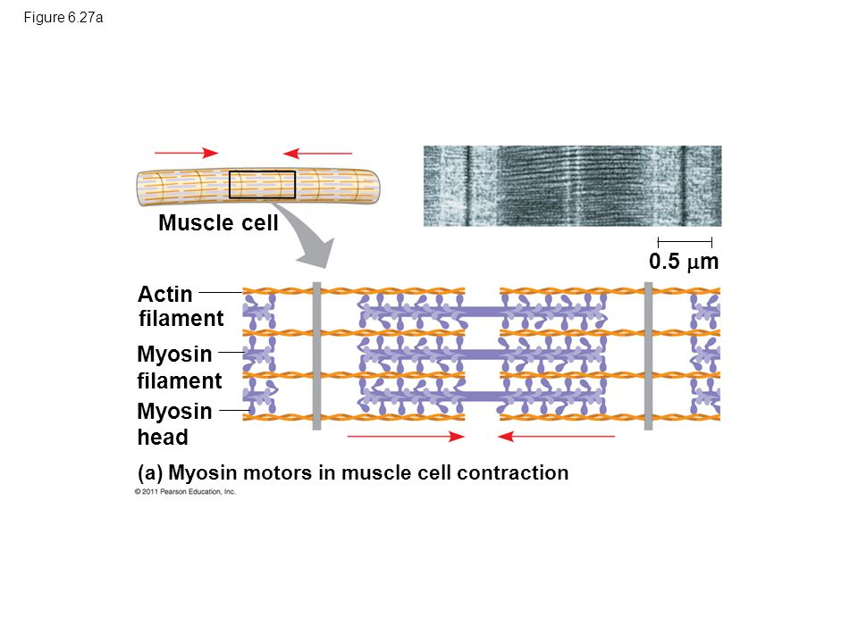 Figure 6.27a Muscle cell Actin filament Myosin filament (a) Myosin motors in muscle cell contraction 0.5  m head