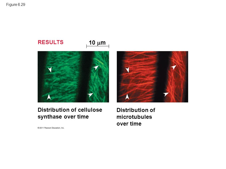 Figure 6.29 RESULTS 10  m Distribution of cellulose synthase over time Distribution of microtubules over time