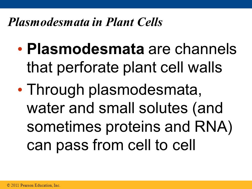Plasmodesmata in Plant Cells Plasmodesmata are channels that perforate plant cell walls Through plasmodesmata, water and small solutes (and sometimes