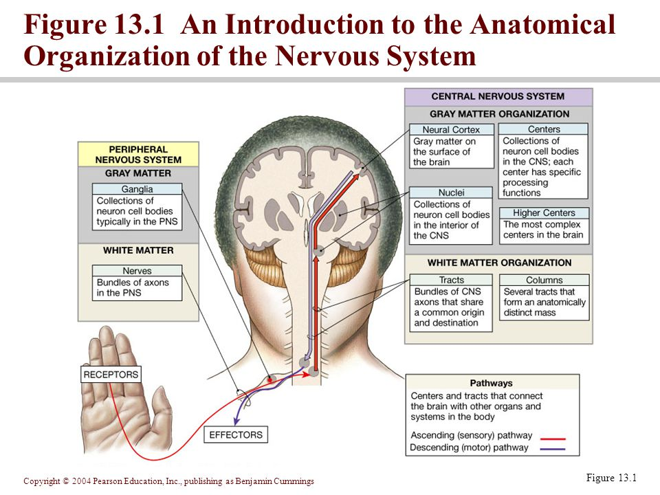 Copyright © 2004 Pearson Education, Inc., publishing as Benjamin Cummings Sectional anatomy of the spinal cord White matter is myelinated and unmyelinated axons Gray matter is cell bodies, unmyelinated axons and neuroglia Projections of gray matter toward outer surface of cord are horns