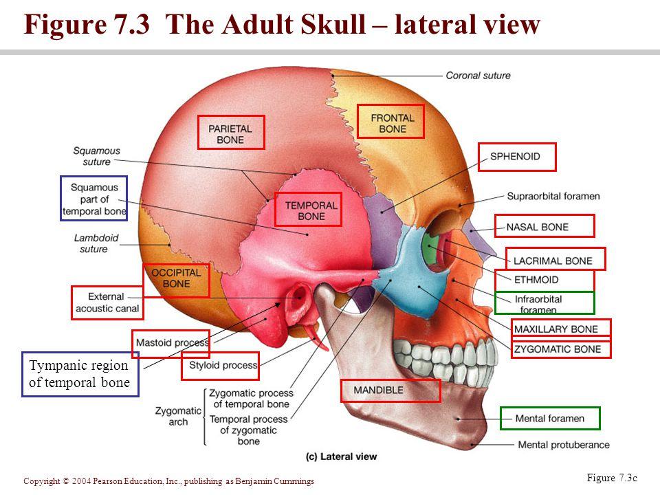 Copyright © 2004 Pearson Education, Inc., publishing as Benjamin Cummings Figure 7.3 The Adult Skull – lateral view Figure 7.3c Tympanic region of tem
